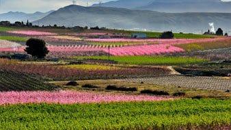 La Floración de Cieza podrá ser disfrutada en casa gracias a un proyecto de innovación de Agromarketing